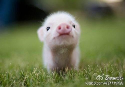 可爱的猪头像真猪