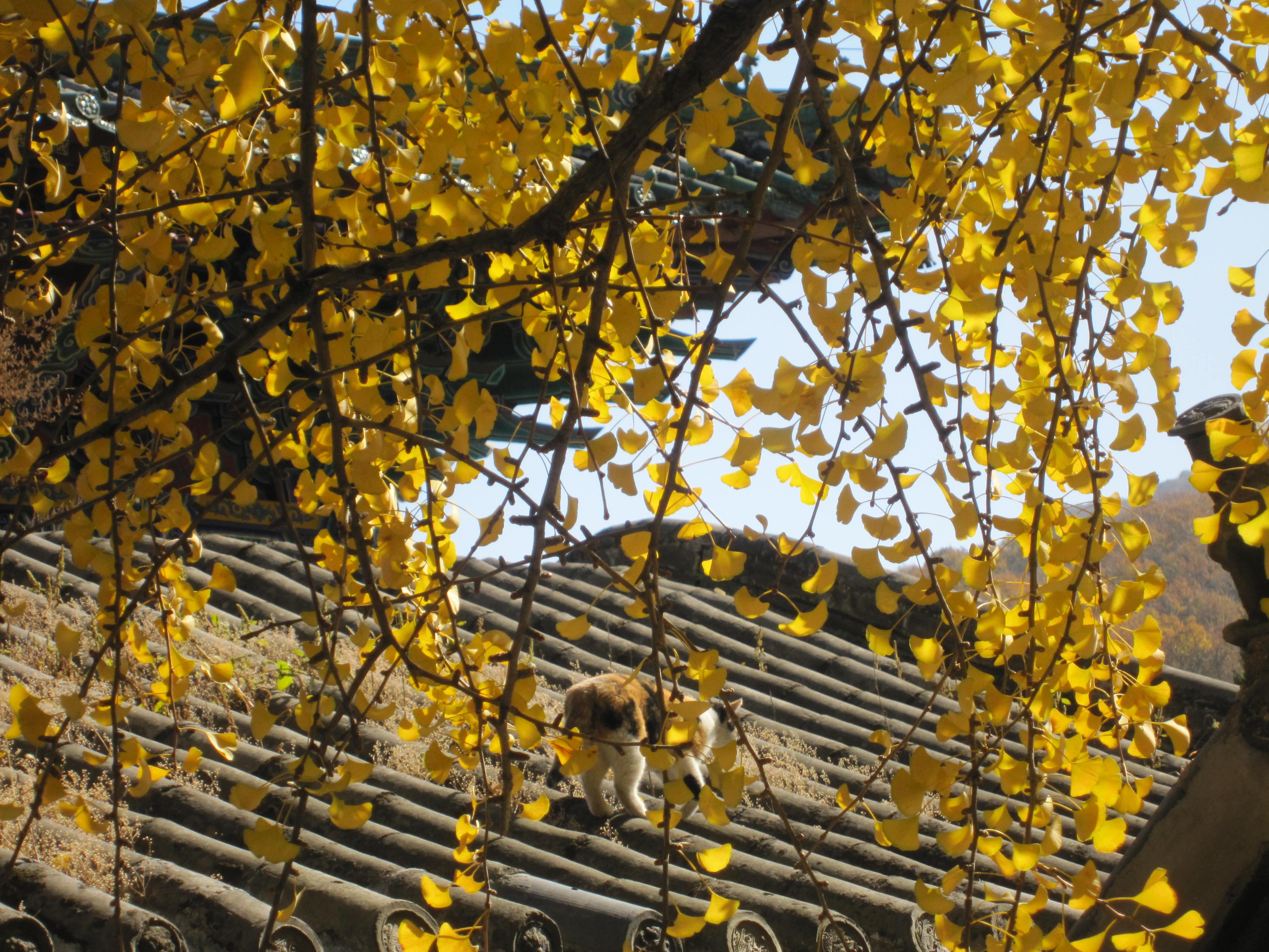 壁纸 风景 森林 银杏 银杏树