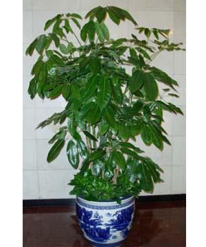 大叶植物图片及名称