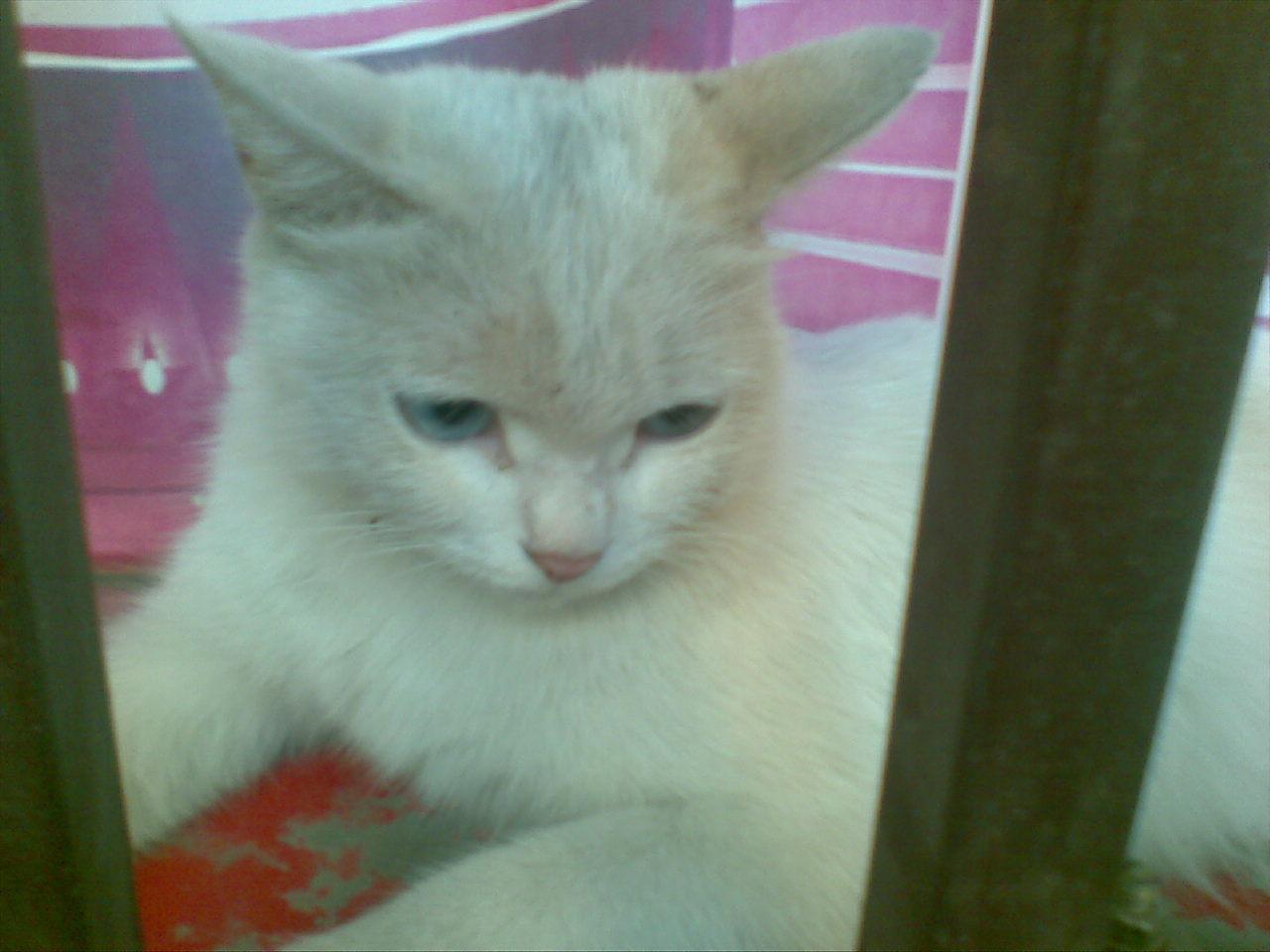 蓝眼睛的小白猫 – mtime时光网
