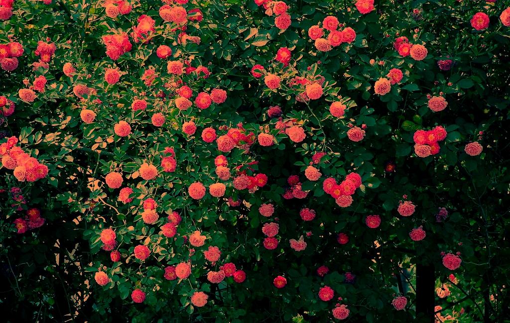 蔷薇树图片大全
